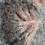 Arbusti zmeur Arbusti mur – Pepiniera Fundulea