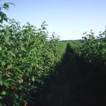 Plantarea, intretinerea si recoltarea culturii de zmeur si mur