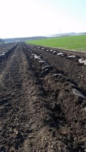 Brazdarea terenului pentru infiintarea culturilor de zmeur si mur