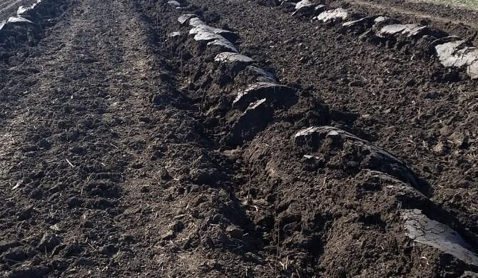 Infiintarea plantatilor de zmeuri si muri pe suprafete mari si intretinerea lor