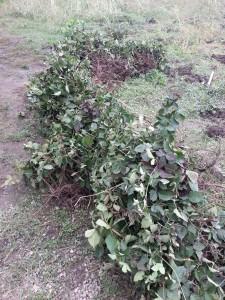 butasi,drajoni , zmeura,mure,plante zmeura ,plante mure