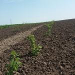 Plantarea corecta si irigarea zmeurei si al murului