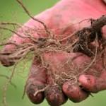 Plantarea zmeurei toamna – Pepiniera Fundulea
