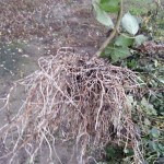 Mocirlirea zmeurei si a murului – Pepiniera Fundulea