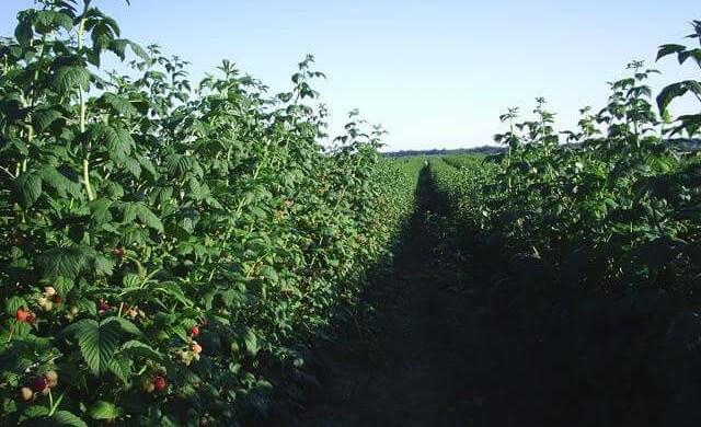 Sfaturi despre plantarea zmeurei si cea mai buna perioada de plantat