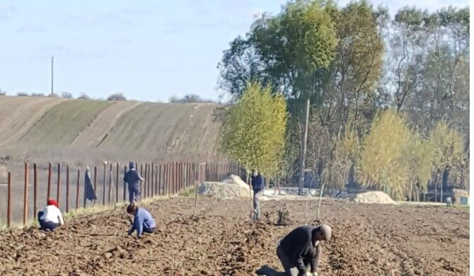 Drajoni Zmeur butasi mur gata de plantat – Pepiniera Fundulea