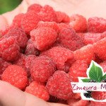 Zmeur Polka Laszka Sokolica- arbusti fructiferi