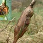 Zmeura-Musculita Galicola