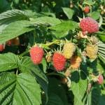 Soiuri de zmeura cu frucre mari- Pepinierele Fundulea