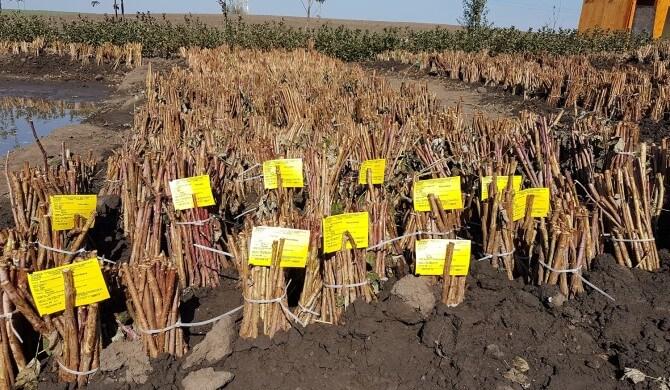 Plantarea drajonilor de zmeur primavara-Pepinierele Fundulea