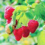 Top 3 cele mai profitabile soiuri de zmeur din plantația ta